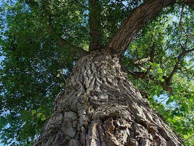 Głosowanie na Europejskie Drzewo Roku 2018 - Topola Helena